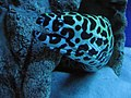 Laced moray Gymnothorax favagineus.jpg