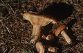 Lactarius deterrimus near Tor Pantau, October 1981 (31022242675).jpg