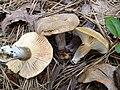 Lactarius petersenii Hesler & A.H. Sm 538129.jpg