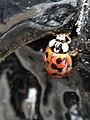 Ladybird (6795278004).jpg