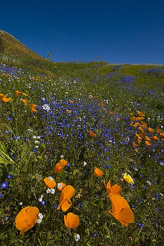 Lake Elsinore, California - Wildflowers and California poppies in the Alberhill District
