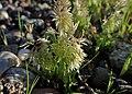 Lamarckia aurea kz03.jpg