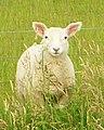 Lamb dsc06473.jpg