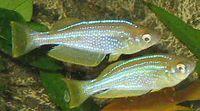 Lamprichthys tanganicanus.JPG
