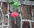 Lantern flower.jpg