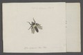 Laphria - Print - Iconographia Zoologica - Special Collections University of Amsterdam - UBAINV0274 038 07 0022.tif