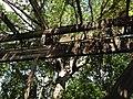 Large Strangler Fig Canopy - panoramio.jpg