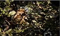 Large tailed nightjar.jpg