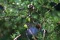 Larix kaempferi x gmelinii var japonica 01.jpg