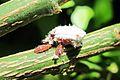 Larvas Rodolia cardinalis.JPG