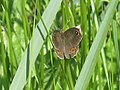 Lasiommata maera - Large wall brown - Бархатка (40269282745).jpg