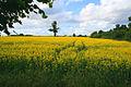 Late Rape Flower - geograph.org.uk - 871344.jpg