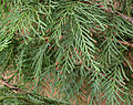 Lawson Cypress leaves.jpg