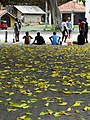 Leaves with Streetside Cricket Match - Galle - Sri Lanka (14009939256).jpg