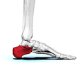 Left Calcaneus03 medial view.png