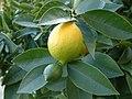 Lemon, DSCF2712.jpg