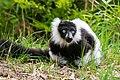 Lemur (26618694447).jpg