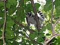 Lemur Catta Beza Mahafaly-2.jpg
