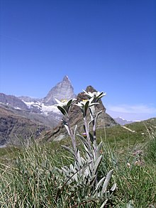 Leontopodium alpina with Matterhorn.JPG