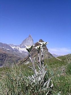 Leontopodium alpina with Matterhorn.JPG