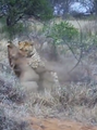 Leopard Kills Warthog in Burrow Latest Wildlife Sightings HD 11.png