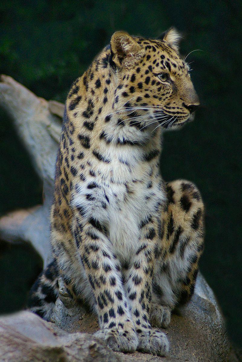 Leopard by Bonnie Gruenberg.jpg