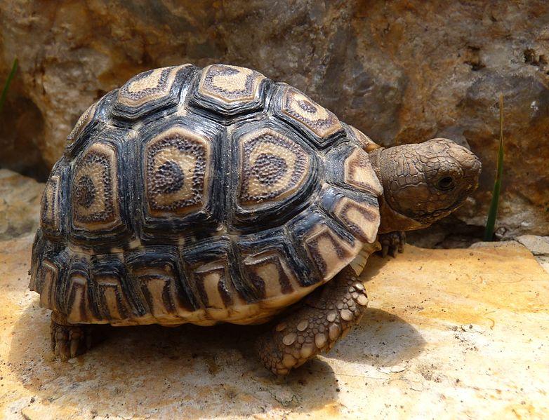 File:Leopard tortoise.jpg