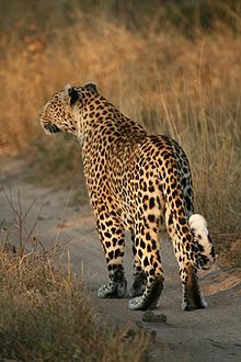 Leopard walking.jpg