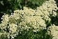 Lepidium-draba-flower.jpg