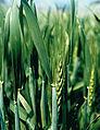 Les Plantes Cultivades. Cereals. Imatge 1808.jpg