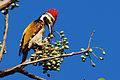 Lesser Flameback at Theosophical society.jpg