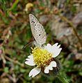 Lesser Grass Blue.Zizinia otis - Flickr - gailhampshire.jpg