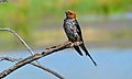 Lesser Striped Swallow (Hirundo abyssinica) (6817923021).jpg