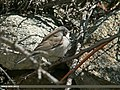 Lesser Whitethroat (Sylvia curruca) (24097334381).jpg