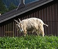 Leukerbad - goat.jpg