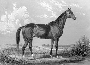Jersey Act - An 1857 engraving of Lexington, from Frank Forester's Horse and Horsemanship of the United States