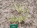 Leymus condensatus - Copenhagen Botanical Garden - DSC07701.JPG