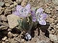 Lilac sunbonnets, Langloisia setosissima ssp. punctata (15453448011).jpg