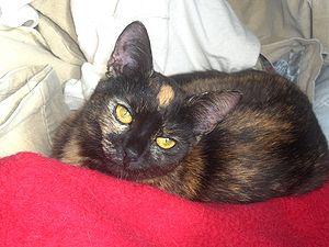 sköldpaddsfärgad katt