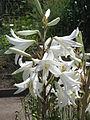Lilium candidum01.jpg