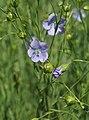 Linum usitatissimum Lein Flachs flax.jpg