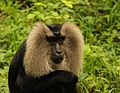 Lion tailed macaque portrait.jpg
