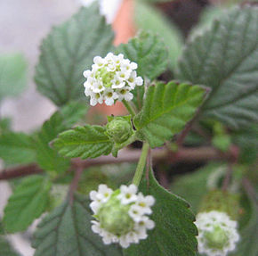 Description de l'image  Lippia dulcis.jpg.