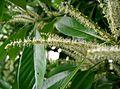 Lithocarpus edulis6.jpg