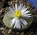 Lithops fulviceps var Aurea flower 1 IB.jpg