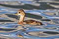 Little Grebe 2013-10-05.jpg