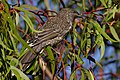 Little wattlebird on eucalypt.jpg