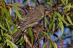 Little wattlebird on a eucalyptus tree in Vict...
