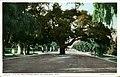 Live Oak Tree, Orange Grove Ave (NBY 2078).jpg