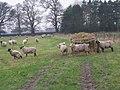 Livestock at Broadoak - geograph.org.uk - 655559.jpg